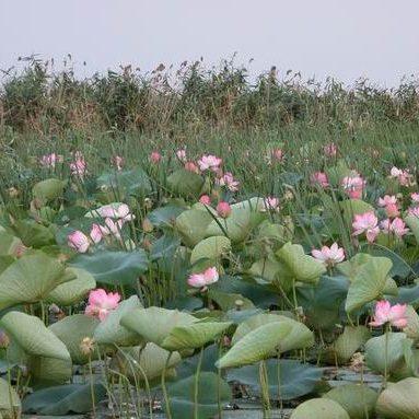Лотосовые поля в Астрахан