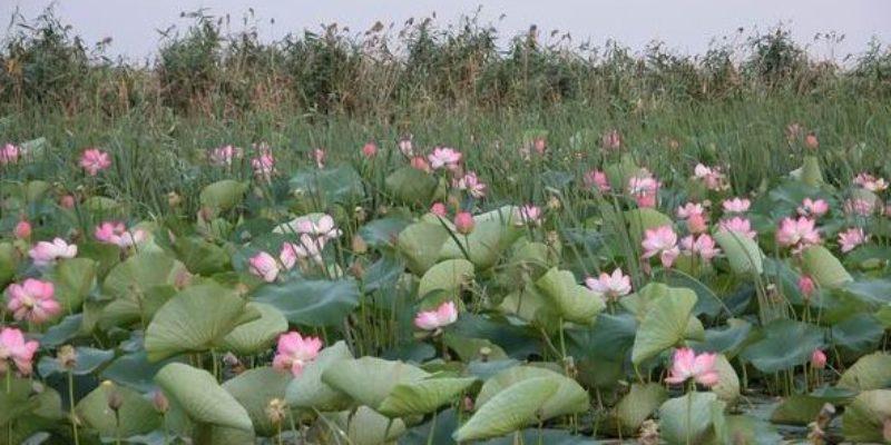 Лотосовые поля в Астрахани